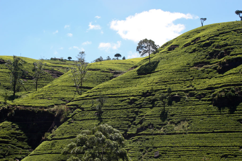 Labookellie_tea_plantation,_Sri_Lanka_2