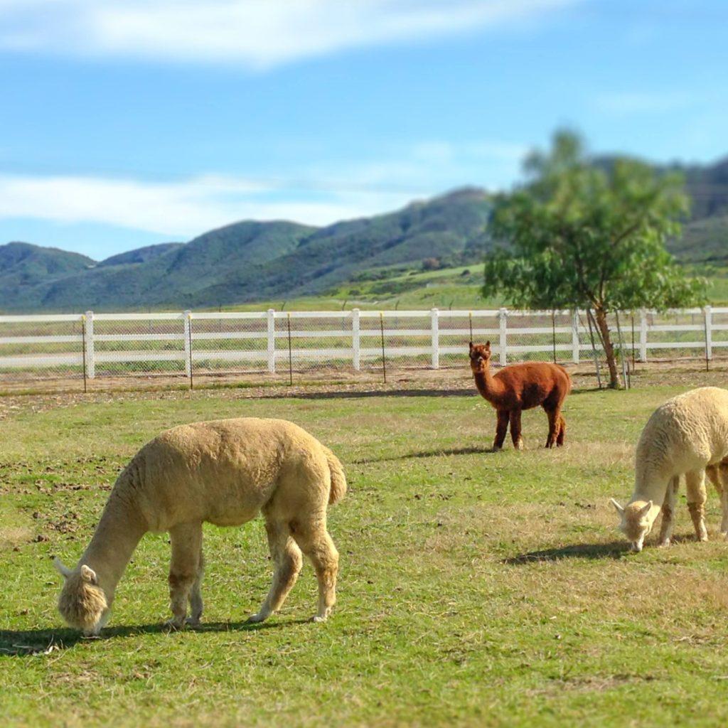 alpaca dusit